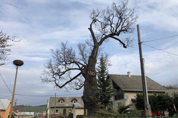 Majestátny dub má vyše 800 rokov.