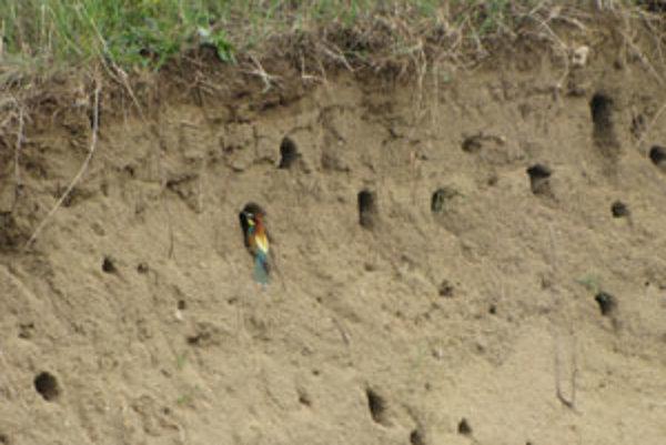 Včelárik zlatý hniezdi v kolmých hlinitých a pieskovcových stenách, do ktorých si vyhrabáva až meter dlhé nory.