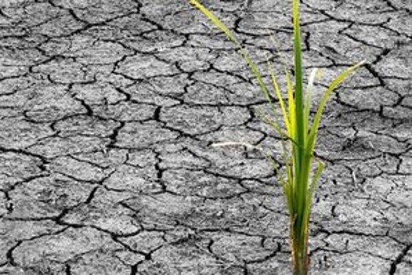 Pre nedostatok vody sa očakávania pestovateľov nesplnili. Úroda bude určite slabšia.