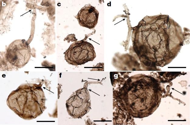 Novoobjavené fosílie húb by mohli byť až o päťsto miliónov rokov staršie, než doteraz objavené.