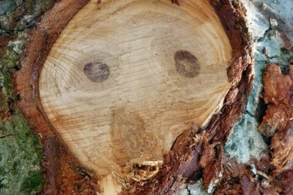 Prekvapená tvár na kôre stromu.
