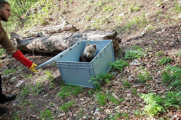 Vypustenie medvieďaťa do lesov Veľkej Fatry.