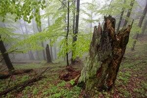 Jarný bukovo-jedľový prales (Veľká Fatra).
