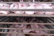 Ministerstvo dočasne pozastavuje prepravu zvierat do tretích krajín.