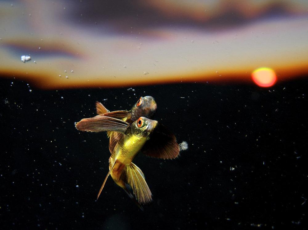 Lietajúca ryba neďaleko útesu Tubbataha na Filipínach krátko pred západom slnka.