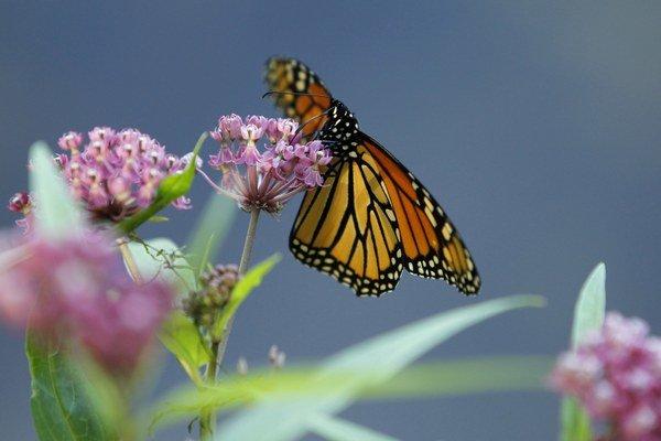 Monarch využíva nielen slnko.