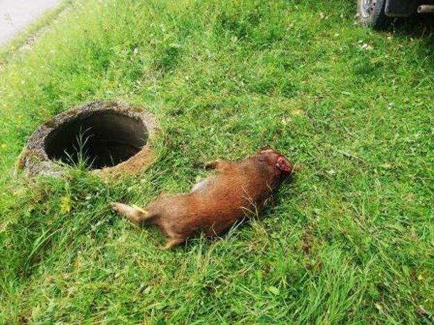 Diviaka usmrtil privolaný pracovník Mestských lesov.