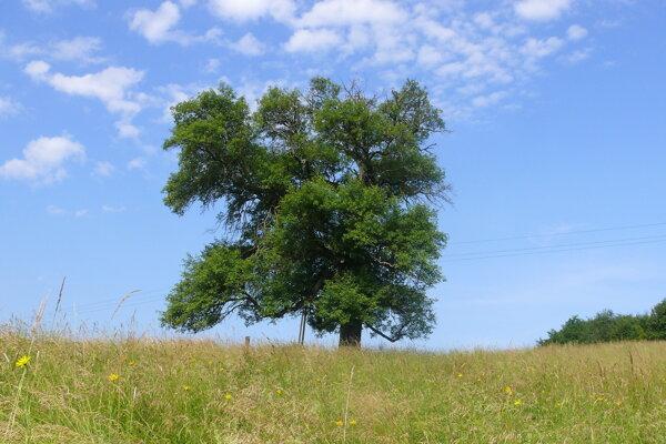 Stromom roka 2007 bola hruška zo Zvolenskej Slatiny.