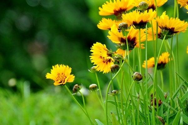 Kvitnúce rastliny sú staršie.
