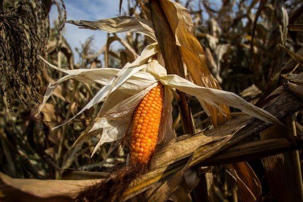 Farmári klasy už dávno nepestujú len na kŕmenie dobytka. Z kukurice sa vyrábajú plasty či bioplyn, pridáva sa aj do atramentu.