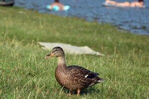 Kačice sa na Vinianskom jazere cítia rovnako dobre ako kúpajúci sa.