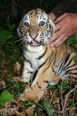 tigre_sprava2.jpg