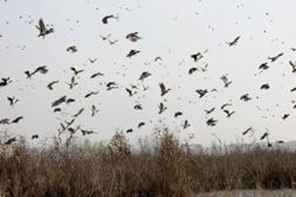 Sťahovavé vtáky odlietajú neskôr.