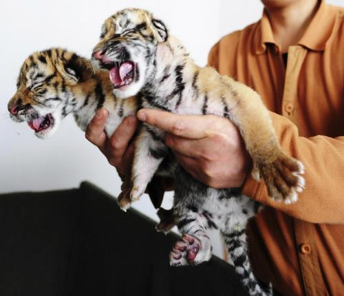 tigrie-vrestadla_tasrap.jpg