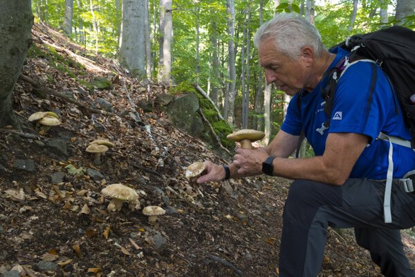 V lesoch Slanských vrchov rastú hríby dubové, no našiel sa aj chránený hríb kráľovský.