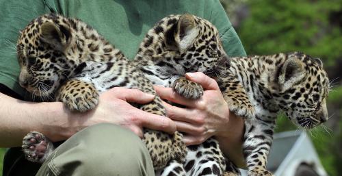 jaguare_tasrap.jpg