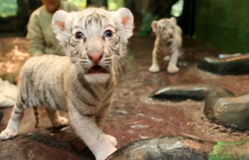 biely-tiger2_tasrap.jpg