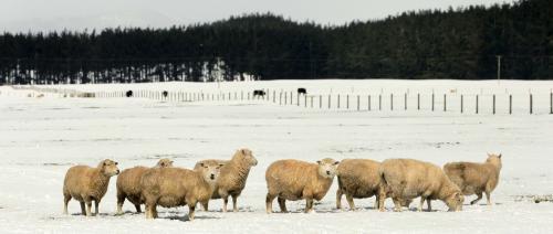 ovce-novyzeland_sitaap.jpg