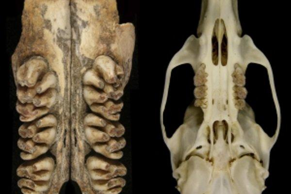 Horná čeľusť so zubami vymretého obrovského potkana (vľavo) vedľa 35 milimetrov dlhej lebky potkana tmavého.