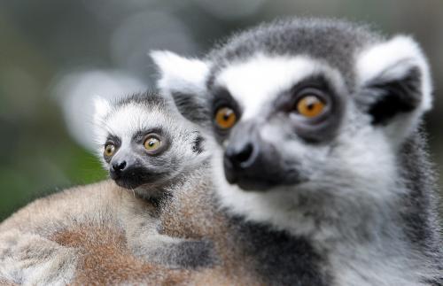 lemury_1_ap.jpg