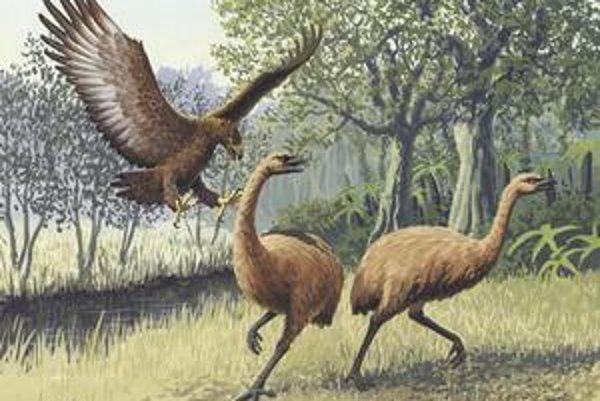 Dravý hokioi útočil najmä na bezkrídle vtáky moa.