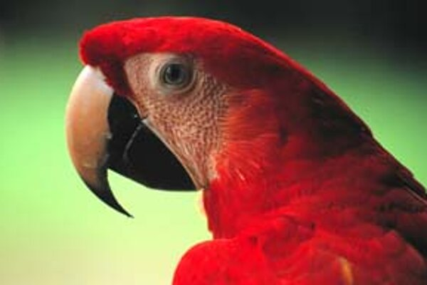 Papagáje, ako tento z druhu Ara macao, zasa majú rovnako prekvapivo najbližšie k spevavcom.