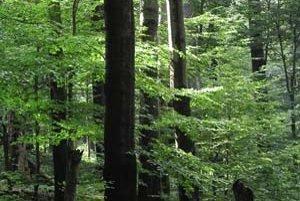 Pohľad na karpatský bukový prales, ktorý UNESCO vyhlásilo za svetové prírodné dedičstvo