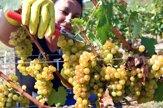 V tokajských vinohradoch oberajú hrozno. Črtá sa dobrý ročník