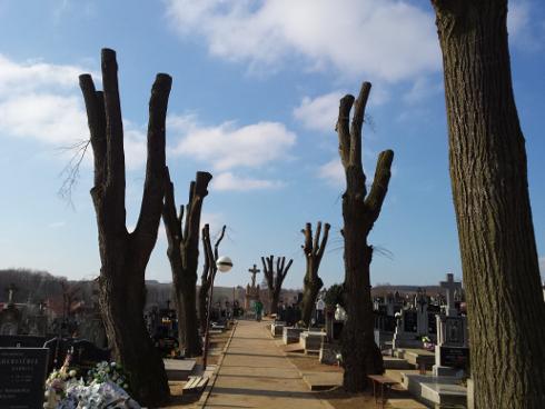 stromy po dekapitacii