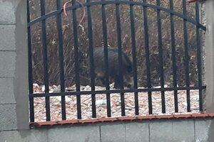 Diviak z fotografie je podľa Dutka dospelý, asi 150-kilogramový samec zimnej srsti.