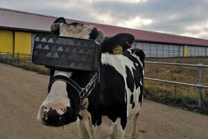 HEadset pre virtuálnu realitu vyskúšali kravy na ruskej farme RusMoloko, ktorá sa nachádza neďaleko Moskvy.