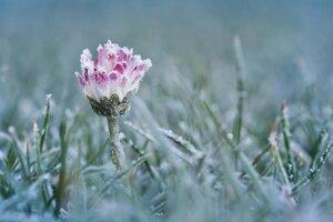 Sedmokráska kvitne dvanásť mesiacov vroku.
