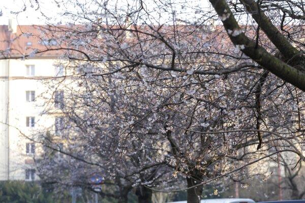 Rozkvitnuté stromy neďaleko Račianskeho mýta v Bratislave.
