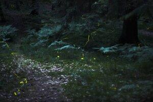 Svetlušky v lese pri nemeckom Norimbergu.