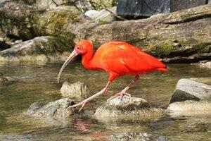 Ibis červený.