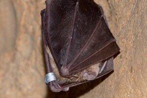 Najstarší netopier na Slovensku.
