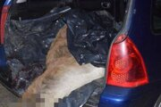 Ulovenú jelenicu pytliaci naložili do osobného auta.