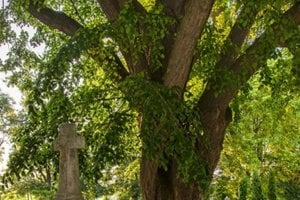 Lipa  rastie v rohu cintorína v obci Dolné Dubové.