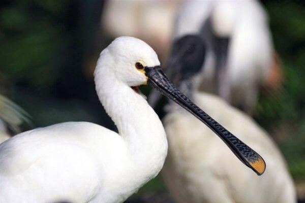 Zoo prišla o celú chovnú skupinu lyžičiarov bielych.