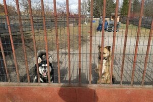Maťo a Paťo, psy, ktoré boli vo svorke nad mestom a ohrozovali ľudí.