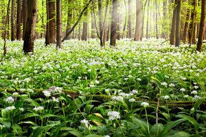 Medvedí cesnak vytvorí na jar v lese voňavý zelený koberec.