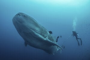 Potápači pri výskume žraloka veľrybieho./Ilustračné foto.