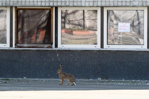 Zajac poľný pred budovou Slovenskej poľnohospodárskej univerzity v Nitre vo štvrtok 9. apríla 2020.