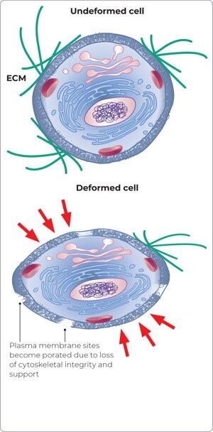 Na hornom obrázku je kožná bunka v prirodzenom stave. Spodný obrázok znázorňuje spôsob, akým sa bunka deformuje pod vonkajším tlakom. Jej plazmatická membrána sa naruší a vnútroné prostredie bunky prestáva byť bezečne oddelené od vonkajšieho.