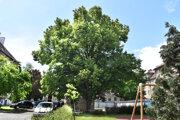 Lipy sa stali počas vzniku Československa stromom slobody. Najstaršia sa nachádza v lokalite Malá Praha.