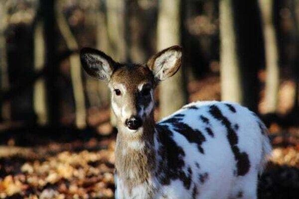 Piebaldizmus je vzácne ochorenie, ktoré môžme vidieť aj na zvieratách.