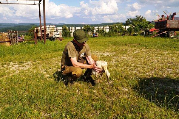 Ochranár Marek Měrka bocianov opatrne vybral z hniezda.