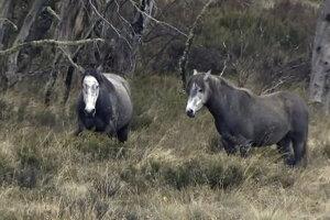 Divoko žijúce austrálske kone.