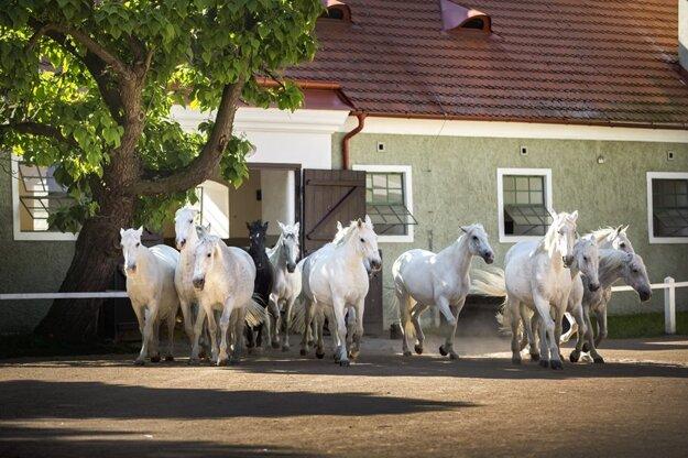 Kladruby nad Labem preslávili najmä kone.
