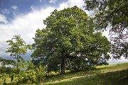 Dvestoročný dub letný je jedným z finalistov prestížnej ankety.
